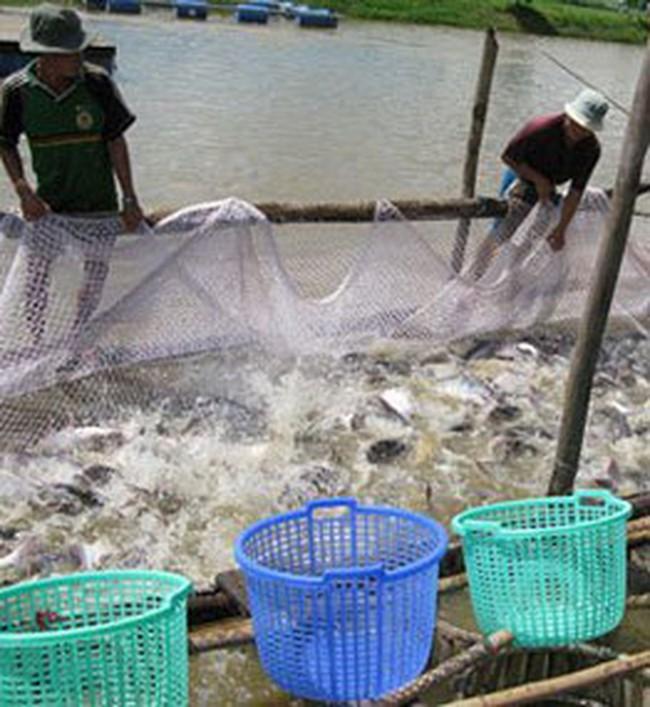 Giá cá tra giống ở Đồng Tháp tăng đột biến