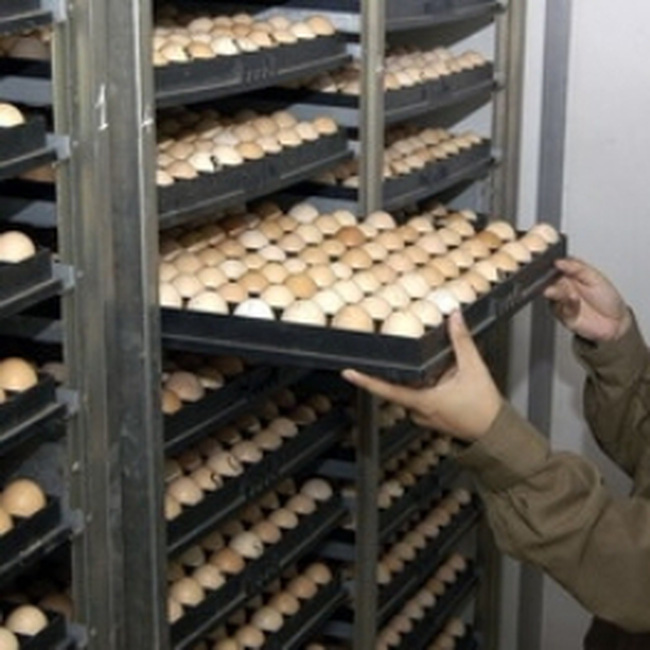 Lập chuỗi sản xuất, tiêu thụ trứng gia cầm an toàn