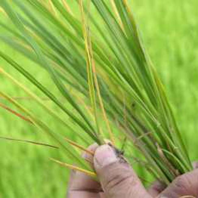 Nam bộ: Mưa trái mùa sẽ ảnh hưởng đến sản xuất nông nghiệp