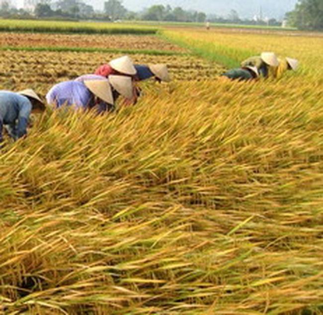Sản lượng thóc của Thái có thể giảm 2 triệu tấn