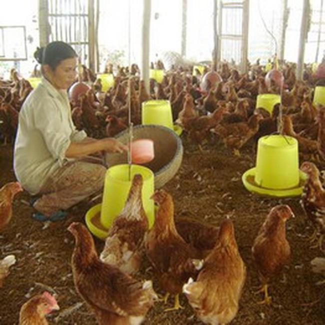 Khuyến khích sản xuất thức ăn chăn nuôi nội địa