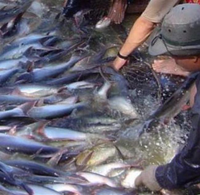 """Cá tra, cá ba sa Việt Nam truân chuyên với """"catfish"""""""
