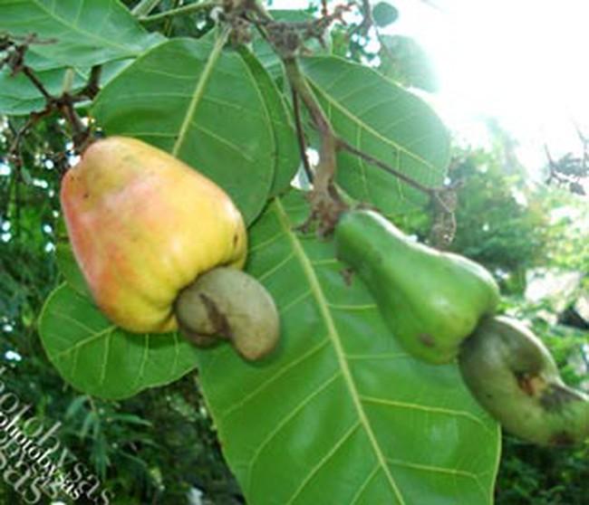 Việt Nam phát triển diện tích trồng điều tại Campuchia