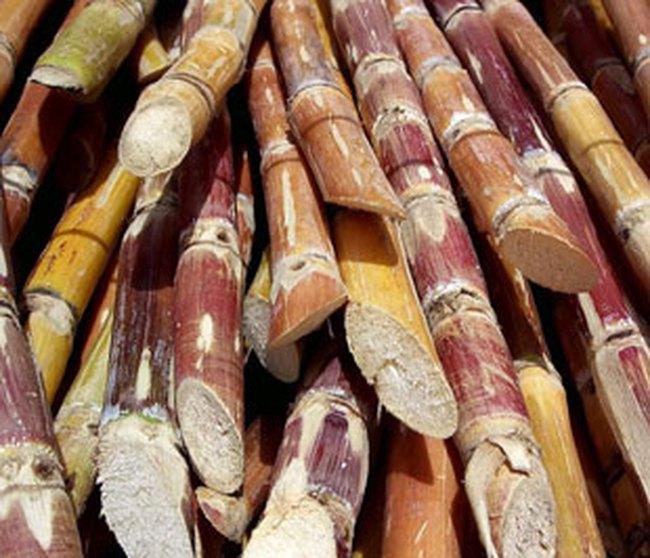 Tình hình sản xuất mía đường: Thiếu trước hụt sau