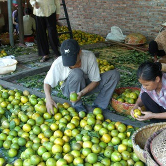 Trái cây Việt vào EU, Mỹ: Rào cản ở đâu?