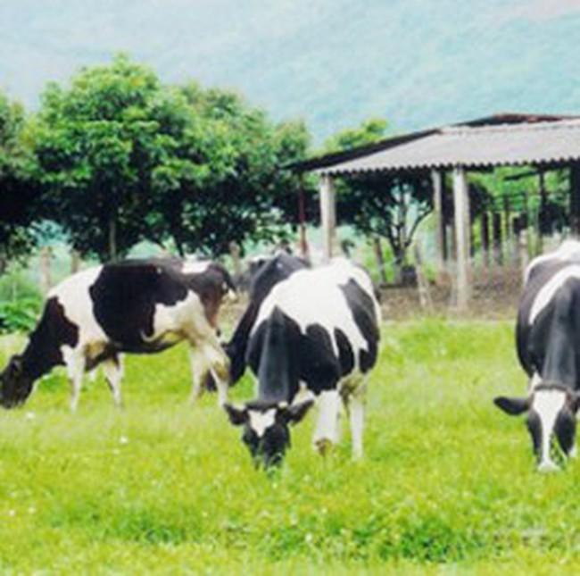 TP. Hồ Chí Minh: Phê duyệt dự án chăn nuôi bò sữa công nghê cao