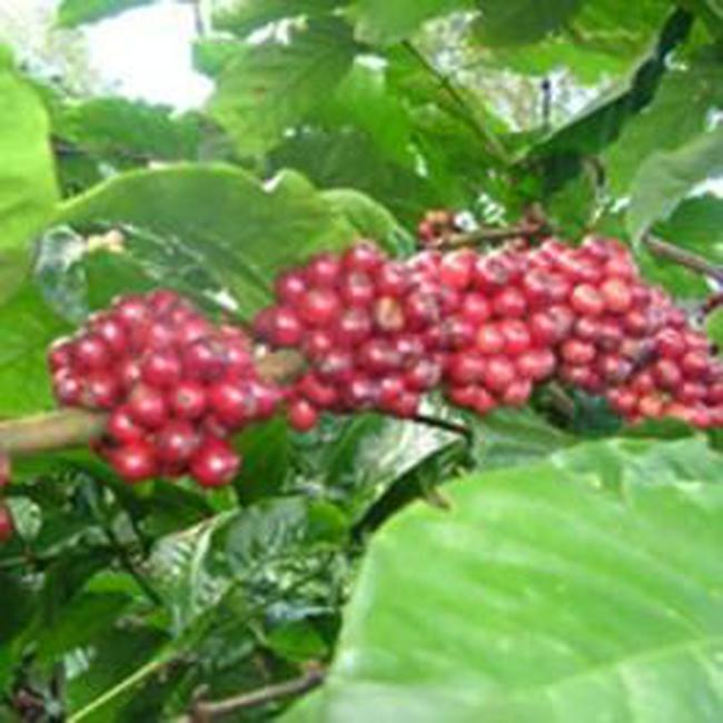 Cử tri kiến nghị kéo dài thời gian hỗ trợ lãi suất cho người trực tiếp sản xuất cà phê