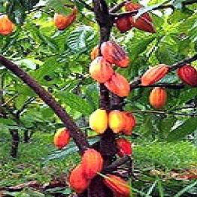 Diện tích cây ca cao đạt 60.000ha vào năm 2015
