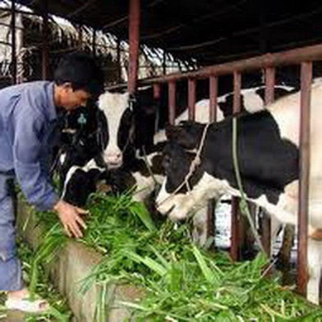 Vinamilk tiếp tục nhập bò sữa cao sản Úc