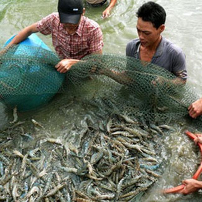 MPC: Thành lập công ty nuôi tôm tại Cà Mau
