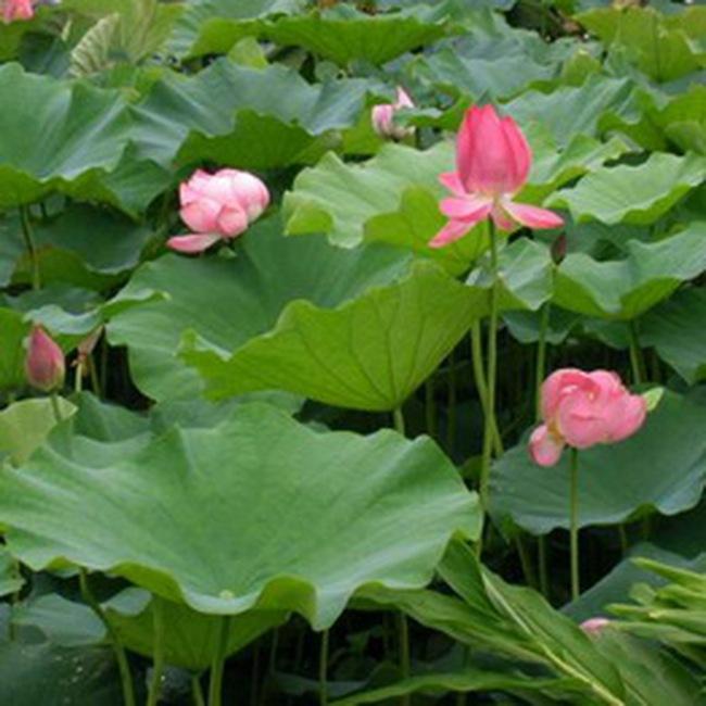 Nhật Bản tăng nhập khẩu hoa sen