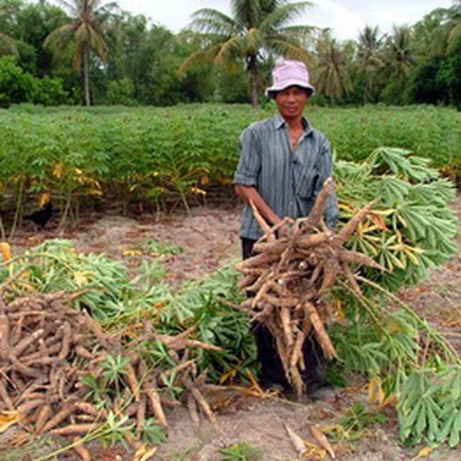 Thị trường Trung Quốc hút khoai mì Việt Nam