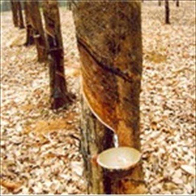 Sản xuất cao su thiên nhiên Ấn Độ tăng 12% trong tháng 8/2010