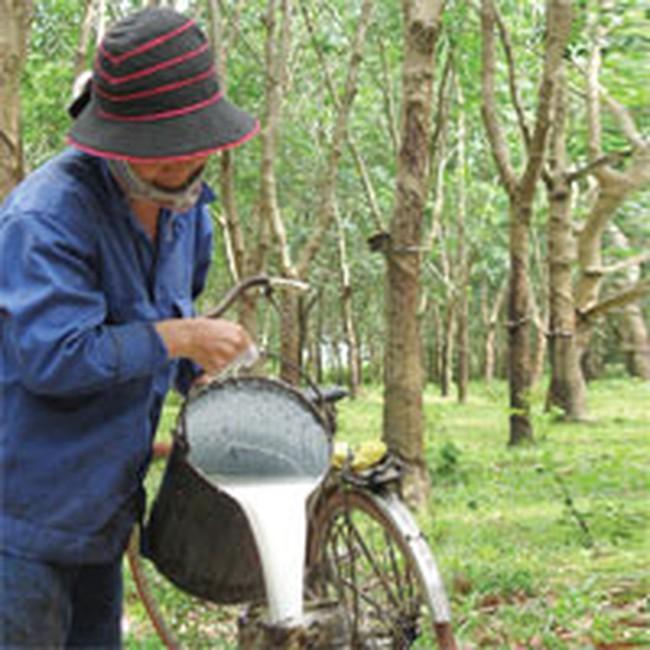 Đắk Lắk: Cần bố trí cơ cấu giống cao su thích hợp với từng vùng đất