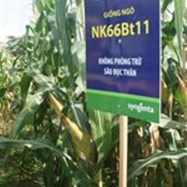 Năm 2011, Việt Nam sản xuất bắp biến đổi gen