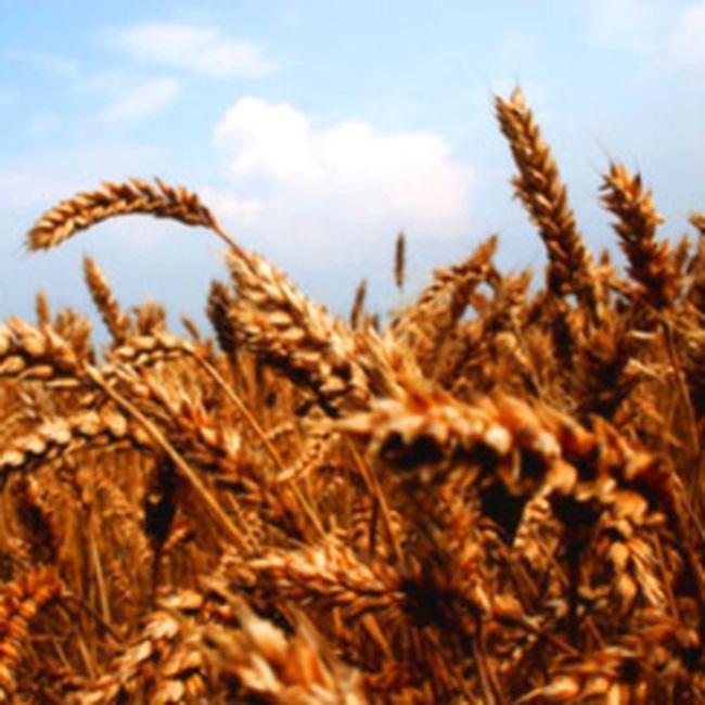 Câu chuyện cám mì và ngành chăn nuôi