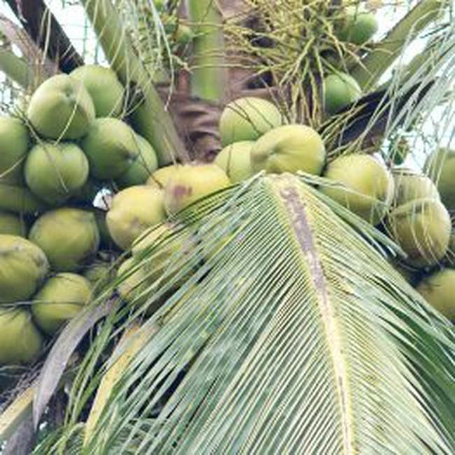 Dừa trái khan hàng vì xuất khẩu!