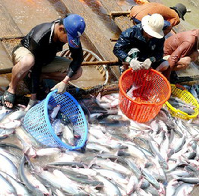 Giá cá tra xuất khẩu giảm sâu