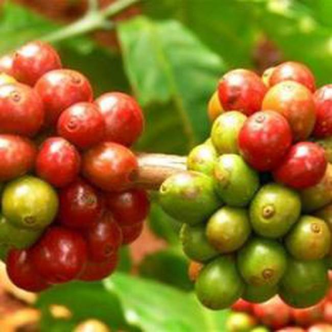 Xử nghiêm các trường hợp mua bán cà phê xanh