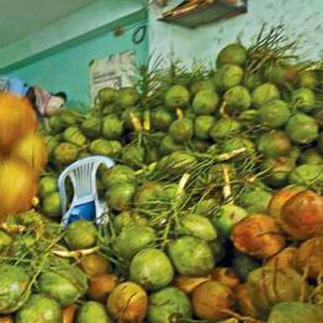 Trà Vinh: Trồng dừa thu nhập gấp đôi trồng lúa