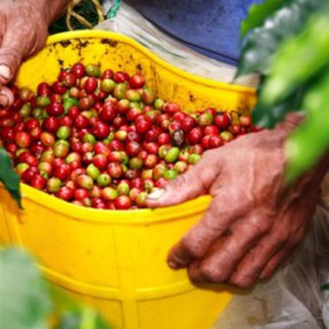 """Lâm Đồng: """"Khát"""" nhân công thu hoạch càphê"""