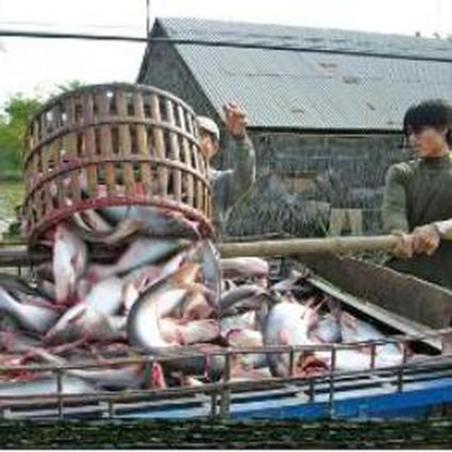 Áp giá sàn xuất khẩu cá tra