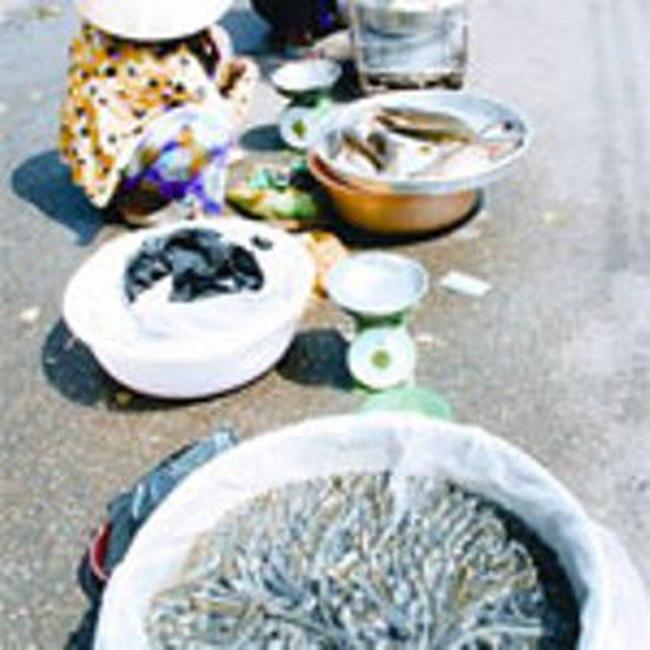 Người nuôi Cá kèo nguy cơ trắng tay vì tin đồn ác ý