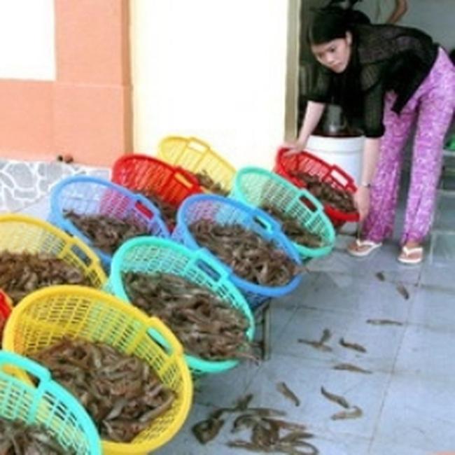 Ngư dân Phú Yên được mùa tôm hùm giống