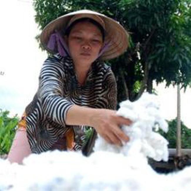 Đắk Lắk: Ra mắt liên minh sản xuất bông vải