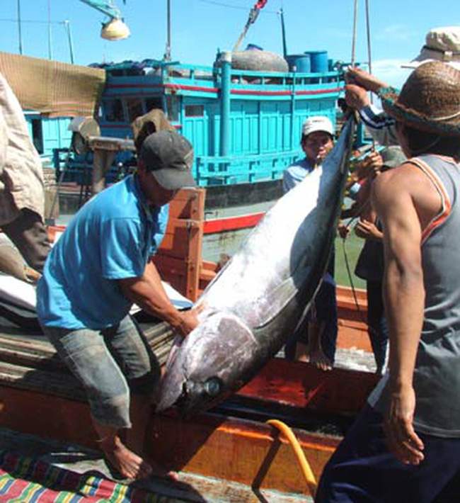 Quảng Ngãi: Bội thu mùa cá ngừ cuối năm