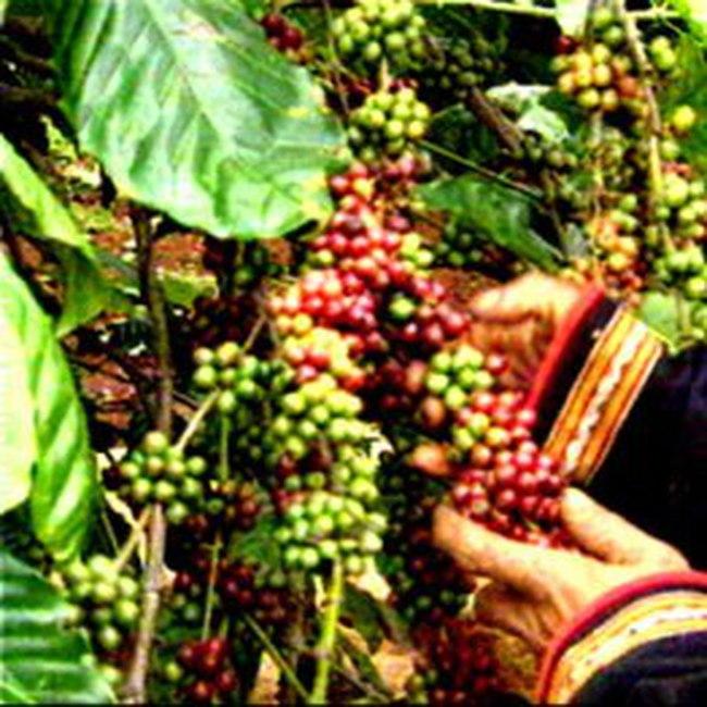 Gia Lai mất mùa cà phê, sản lượng giảm hơn 60%