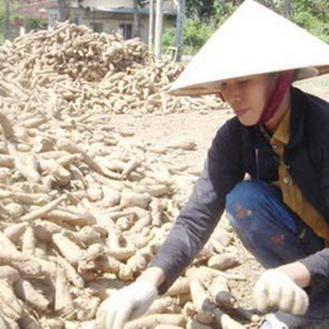 Năm 2011, nhu cầu nhập khẩu sắn của Trung Quốc rất lớn