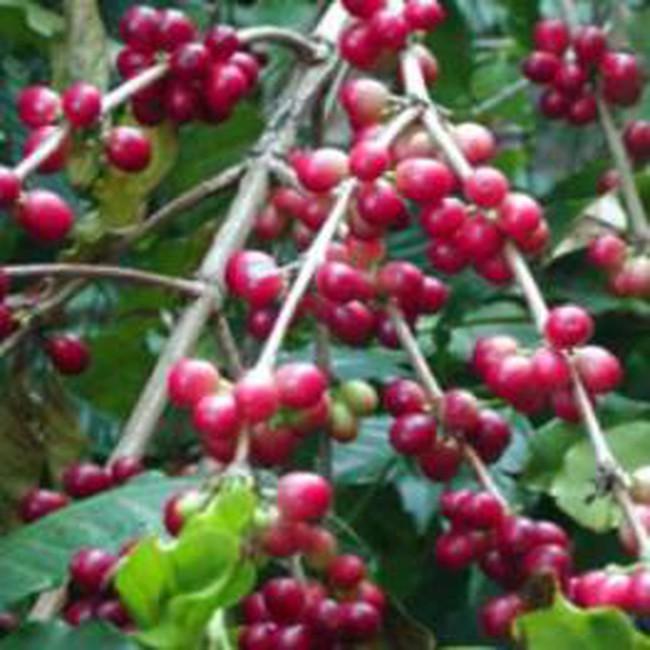Sản lượng cà phê giảm mạnh