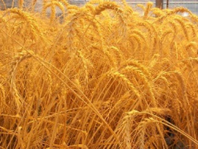 FAO: Sản xuất lúa mì năm 2011 còn nhiều khó khăn