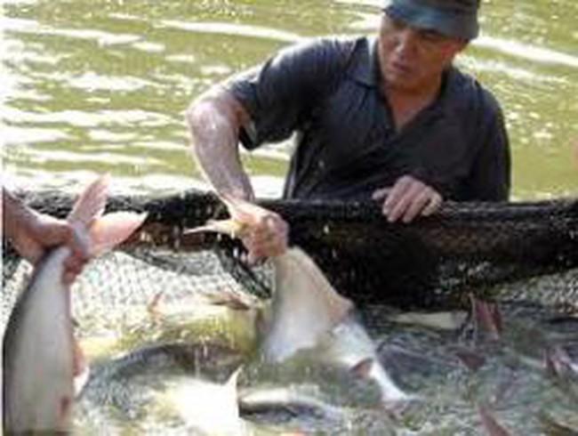 Giá cá tra nguyên liệu tăng cao