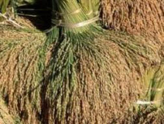 Ninh Thuận: Lúa được mùa trúng giá