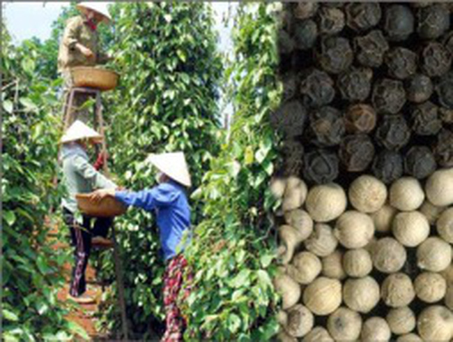 Hồ tiêu Việt Nam được mùa, trúng giá lớn