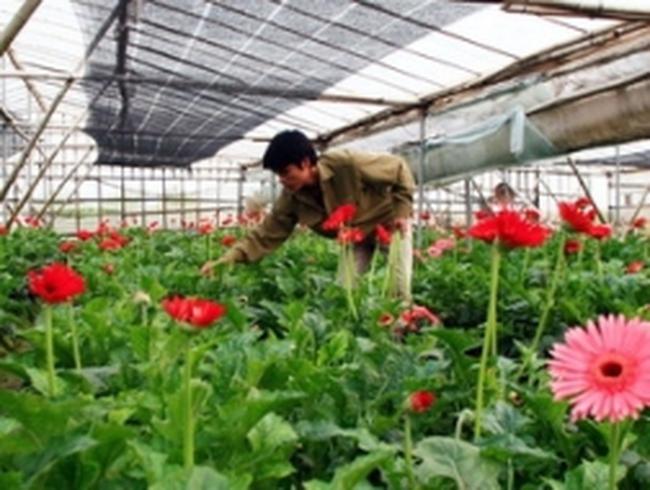 Hà Nội mở rộng diện tích trồng hoa tới gần 1.300ha