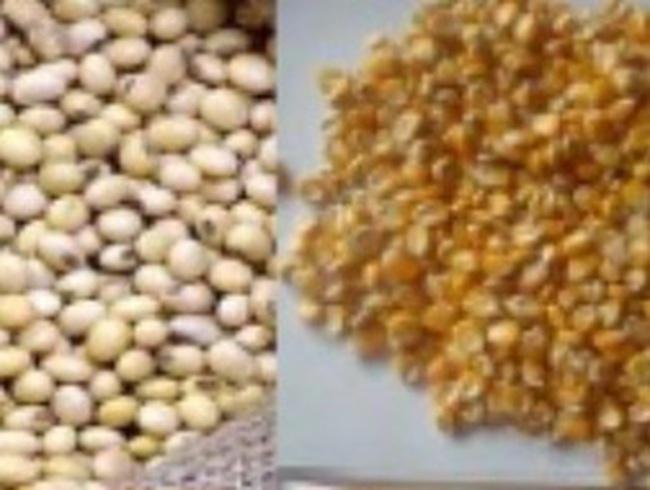 Tái xuất số ngô và đậu tương nhiễm mọt nhập từ Ấn Độ