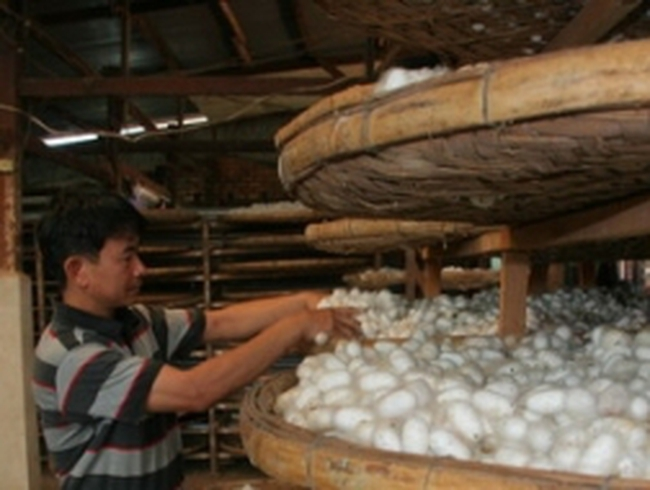 Lâm Đồng: Giá kén tằm đạt kỷ lục 145.000 đồng/kg