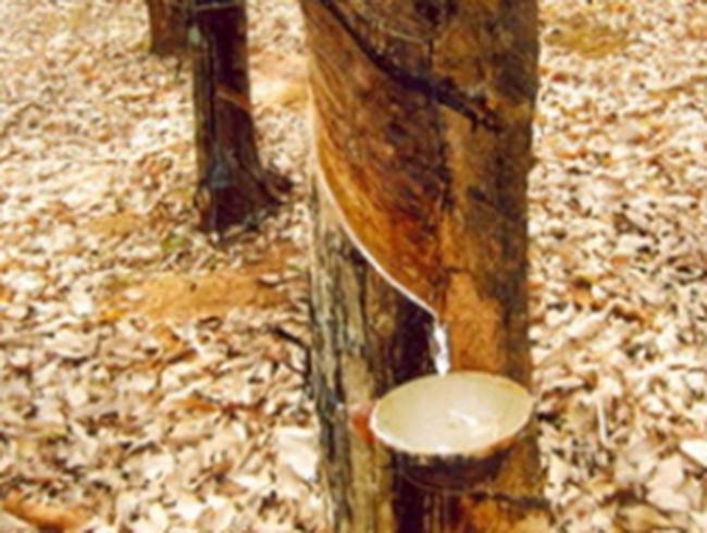 """Doanh nghiệp cao su tự nhiên: Đặt kế hoạch tăng trưởng """"an toàn"""""""