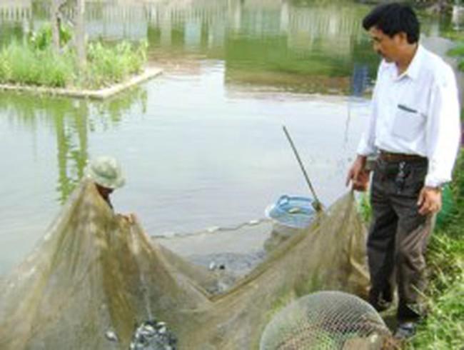 Hải Dương: Hiệu quả từ mô hình nuôi cá rô phi dòng Sô Đan