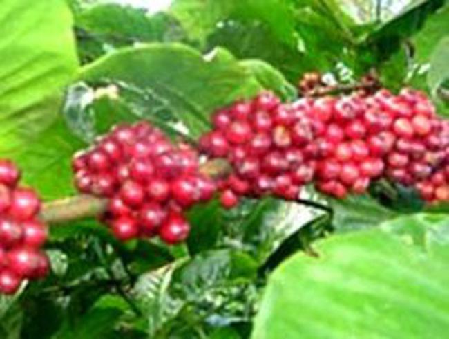 Ưu tiên vốn đầu tư cho 500.000 ha cà phê