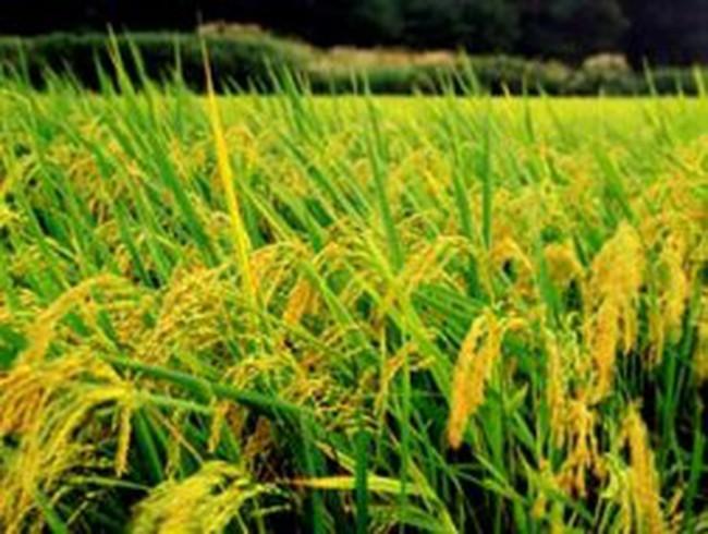 ĐBSCL: Vụ đông xuân được mùa, phấn khởi bước vào vụ hè thu
