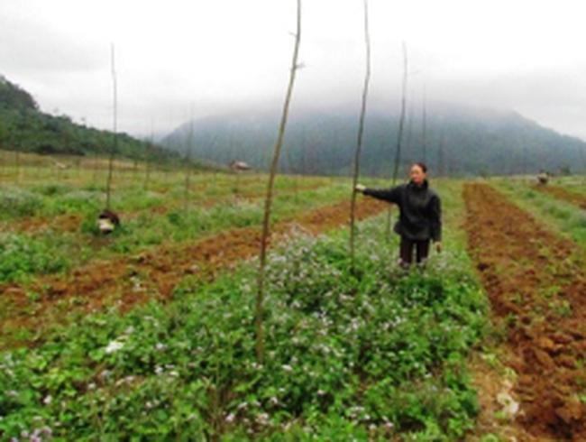 Bố Trạch - Quảng Bình: Khóc vì cây cao su tiểu điền