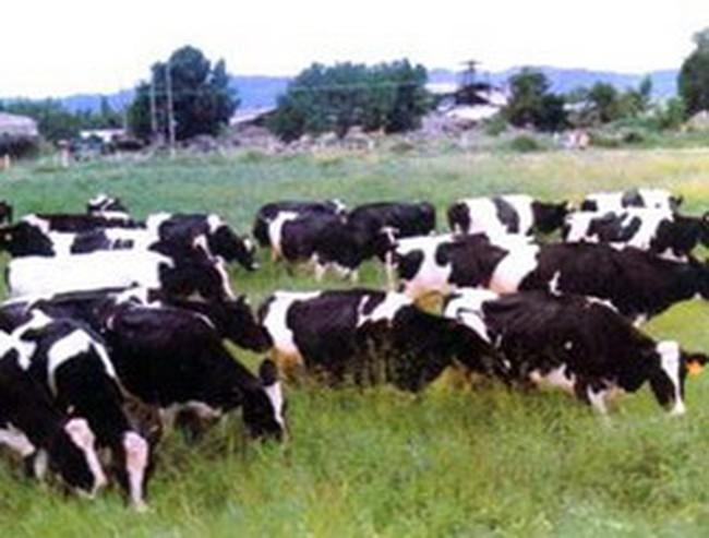 CTCP Giống bò sữa Mộc Châu: Khi nông dân làm cổ đông