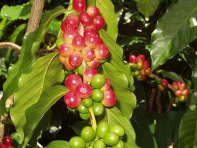 Giá cà phê giảm 800 nghìn đồng/tấn