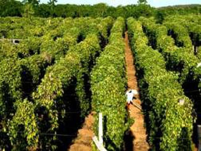 Gia Lai : Chặt bỏ cây cà phê để trồng hồ tiêu