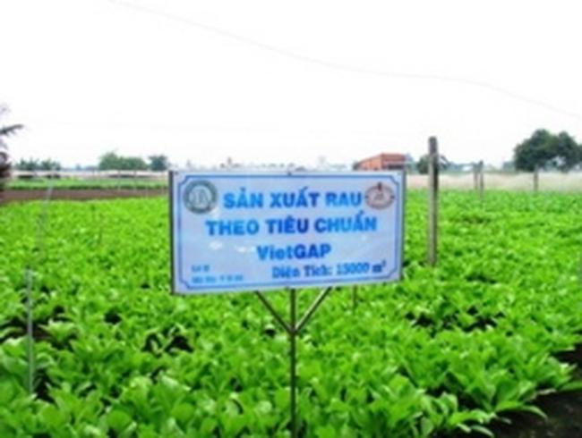 Trồng rau sạch thu lãi hơn 100 triệu đồng mỗi ha