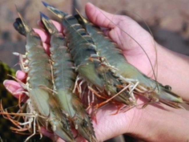 Tôm tại Bạc Liêu chết nhiều là do bệnh vi bào tử
